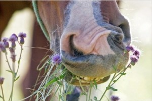 horse-nose