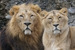 https://pixabay.com/en/animals-predator-lion-indian-pair-1060610/