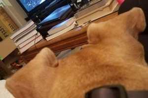 Les oreilles de mon chien ressemblent à deux chiens avec des oreilles !