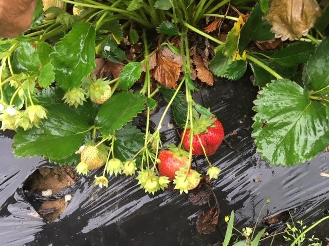 Shade Tree Farm Strawberries