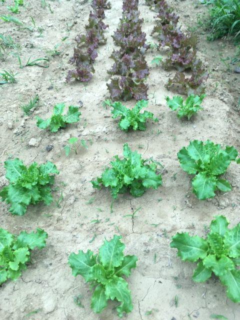 Shade Tree Farm Lettuce