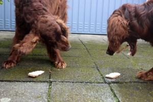 Hunde Milchschnitte die gerade von zwei Settern aufgegessen wird