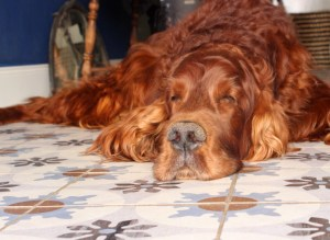 Irischer Setter Maibowle für Hunde