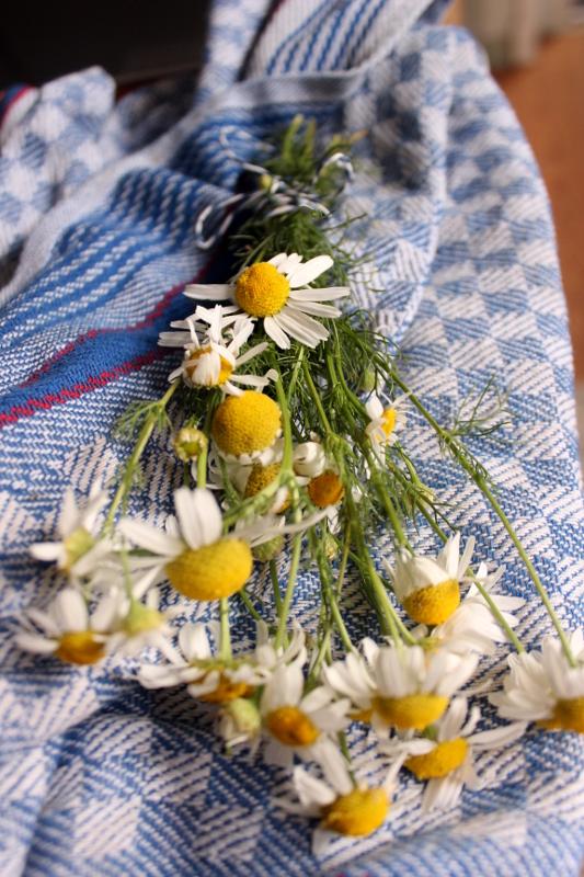 Kamillenstrauß trocknen Kamillentee herstellen