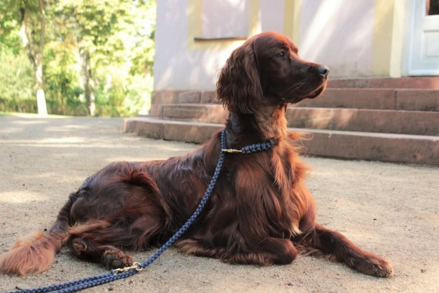 hundeblog-setter-fernsehen-hundeleine-hundeaccessoires