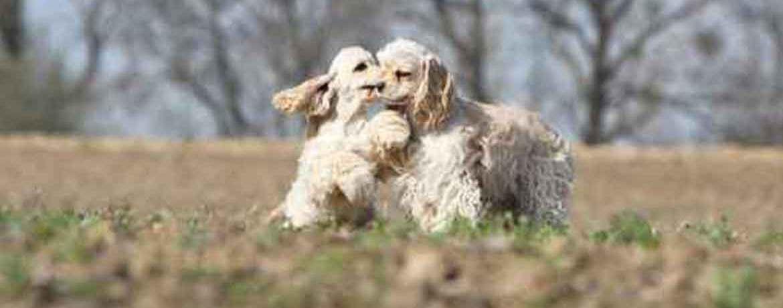 Der American Cocker Spaniel Frohlich Charmant Und Liebenswert Schweizer Hunde Magazin