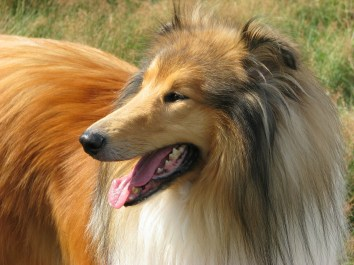 langhaar-collie