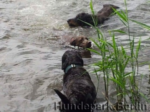 Swimming - favorite free time activity for dogs