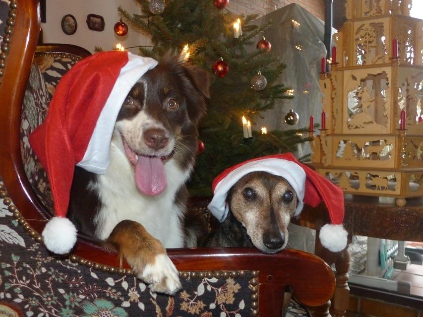 Hunde zu Weihnachten mit Weihnachtsmützen