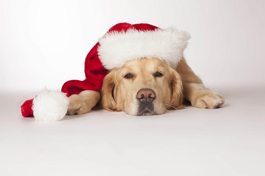 Labrador Hund mit Weihnachtsmütze