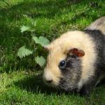 Meerschwein auf grünem Rasen