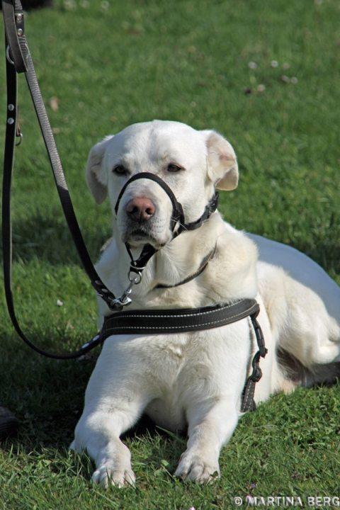 Halti Hund