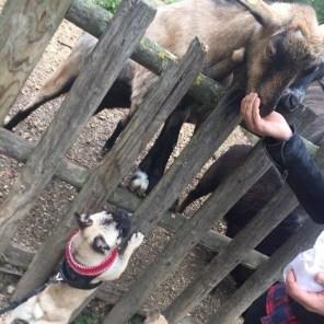 Romy will auch vom Essen der Ziegen kosten