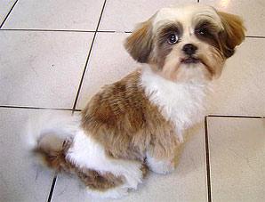 Hundewellness Salon SUNRICO Bildergalerie Kundenhunde Shih Tzu