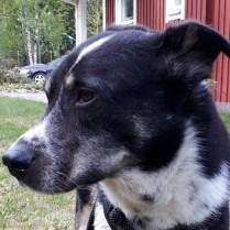 Josh - hane - 2013 - 3500 kr - Örebro