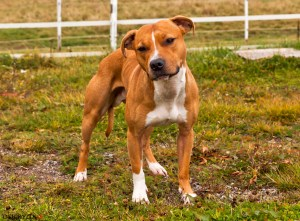 Hundkurs Hundutbildning Kamphund