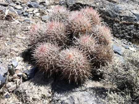 barrel cactus also tell us the secret of desert wildflowers