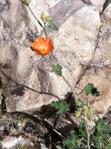 Desert mallow tells the secret of desert wildflowers