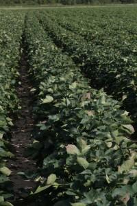cotton at cutout