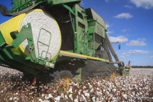 cotton harvest underway