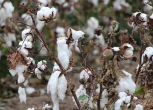 stringout in cotton