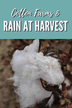 rain at harvest
