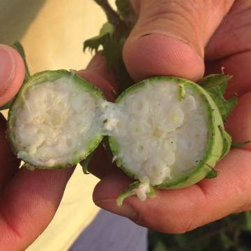 cotton boll cut open