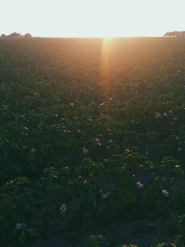 cotton field nearing harvest