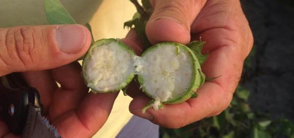 cotton boll cut open