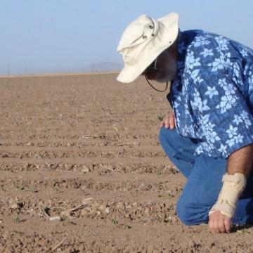 cotton breeder checking emergence