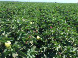 pima cotton field california