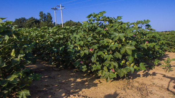 cotton plants at cut out
