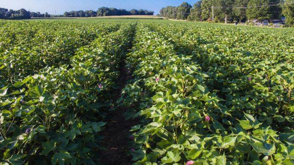 lush cotton plants