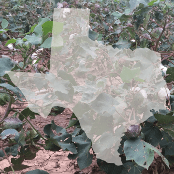 texas cotton classes