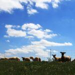 Schafe auf dem Elbdamm