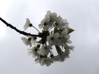 Kirschblütenkugel
