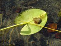 Seerosenblatt Liepnitzsee
