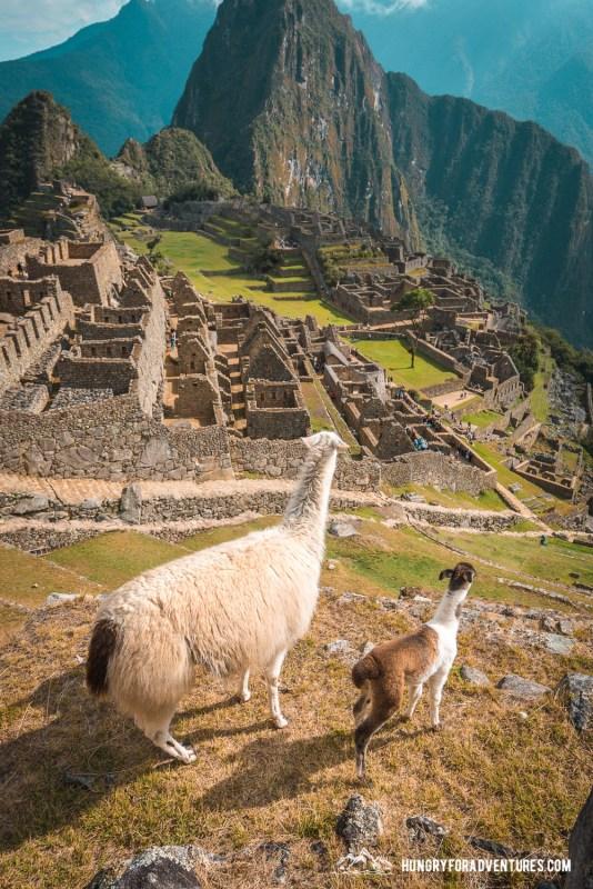 Baby Lama and Mama Lama Gazing at Machu Picchu