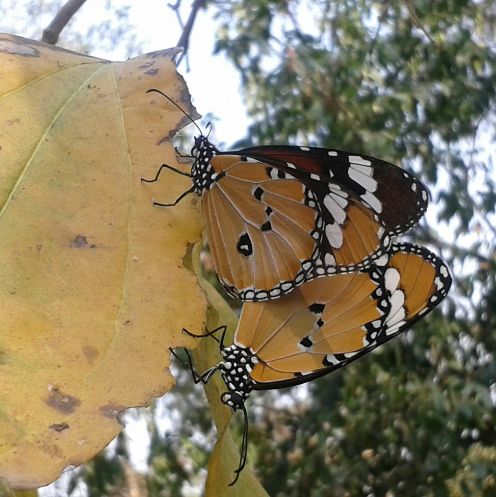 2 Schmetterling