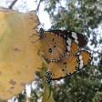 2 Schmetterling