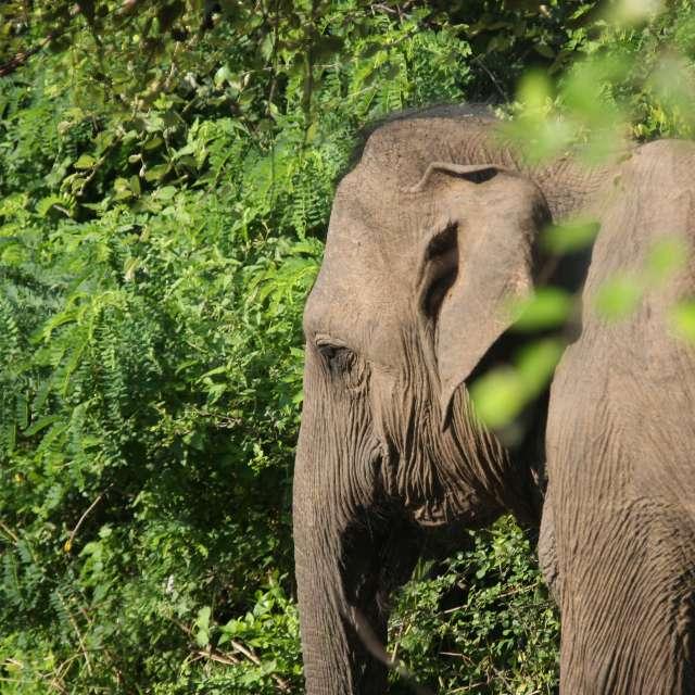 Ein Elefant in Sri Lanka