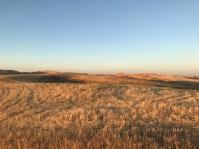 IMG_3336 harvested barley in morning light