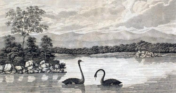 2 black swan
