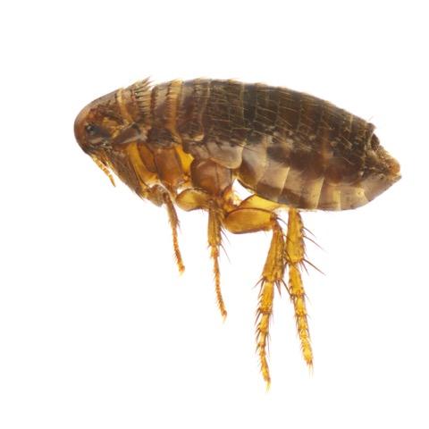 Flea Frenzy