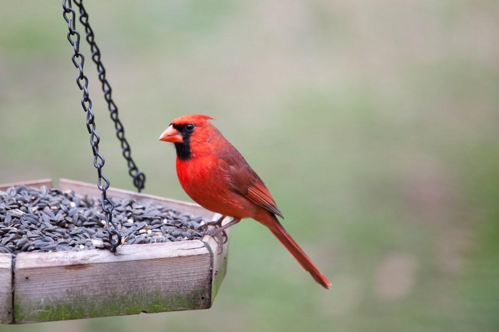Pest Control Cardinal