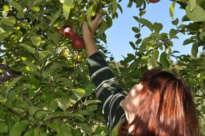 Apple picking at Applecrest, Hampton Falls, NH