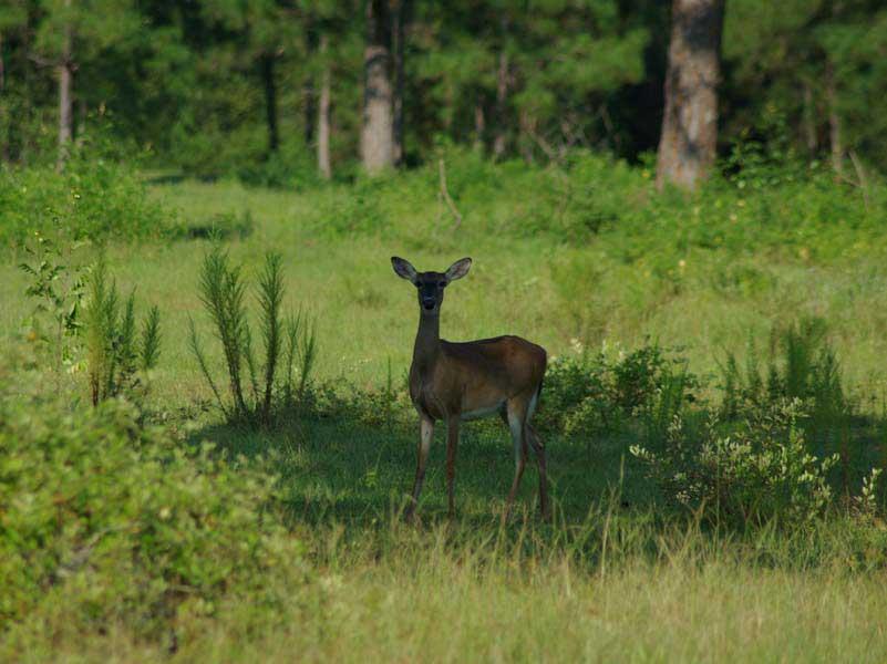 hunting-in-florida-whitetail-deer-hunting-008