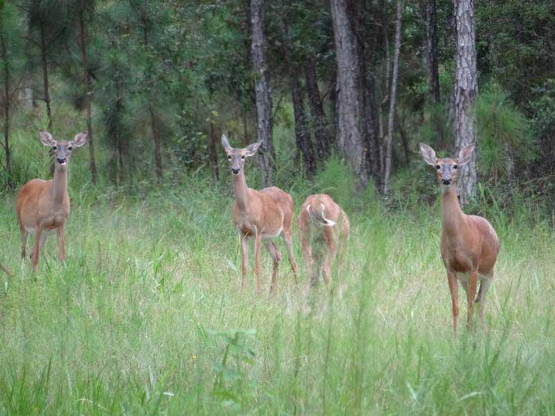 hunting-in-florida-whitetail-deer-hunting-019