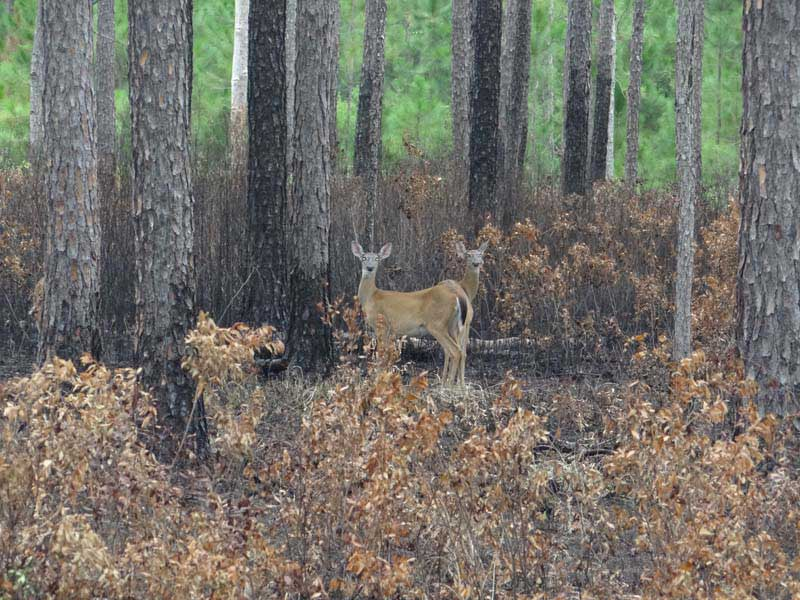 hunting-in-florida-whitetail-deer-hunting-020