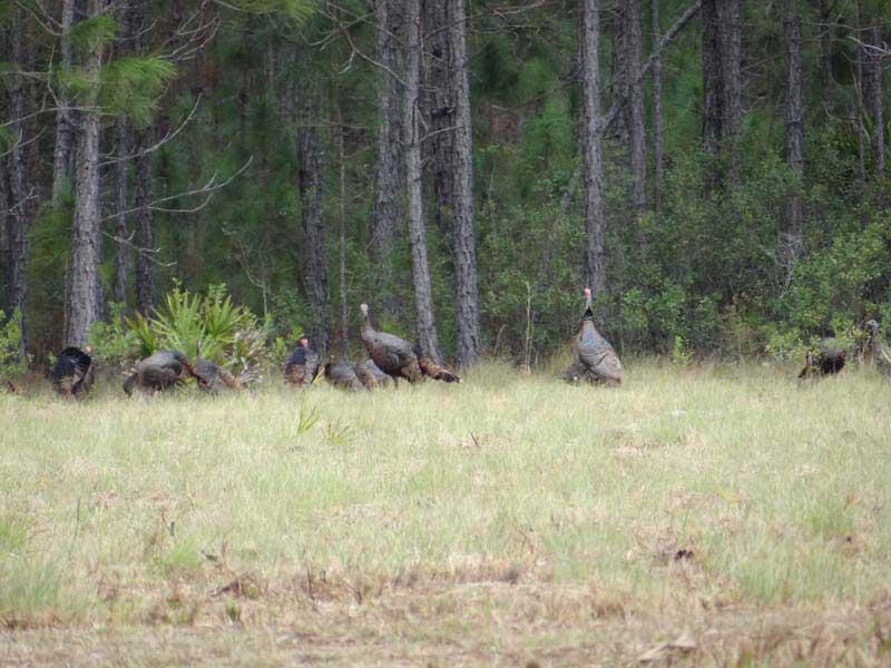 osceola-florida-turkey-hunting-002